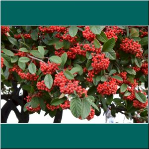 Cotoneaster, 5.7.20