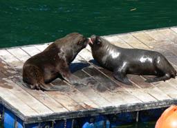 Valdivia, Lobos marinos