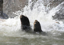 Sealions