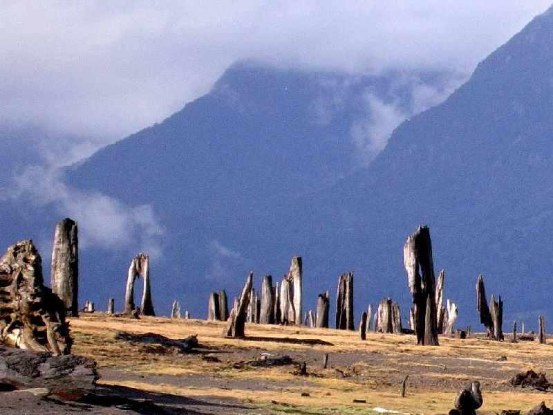 Foto: Baumstumpf am Lago Chapo, Zeuge eines der zahlreichen Ausbrüche des  Calbuco: Ca. 60km südöstlich von Puerto Varas liegt am Fuße des Vulkans Calbuco der Lago Chapo an der Grenze zum Parque Nacional Alerce Andino, dessen Besuch man auf alle Fälle mit einem Abstecher dorthin verbinden sollte. Das Westufer des Sees ist mit zahlreichen unheimlich anmutenden, kahlen Baumstümpfen, welche die zerstörerische Kraft des Vulkans erahnen lassen, übersät.