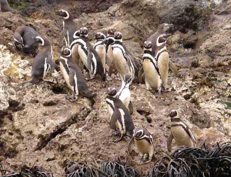 Chiloé, Pinguine: Die drei kleinen Inseln von Puñihuil, ca 30km westlich von Ancud, sind alljährlich  Brutstätte für ca. 700 Magellan- und Humboldtpinguine. Touristen sollten Verständnis dafür haben, dass die chilenische Forstbehörde CONEF ein Betretungsverbot für die Inseln ausgesprochen hat. Mit Booten kommt man sicher nahe genug an die scheuen Tiere heran, um hervorrragende Fotos machen zu können.