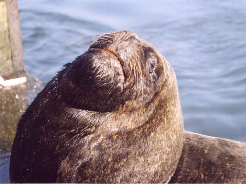 Valdivia   Lobo, Seehund: Seehund oder Seelöwe? Hunds- oder Ohrenrobben? Eine kleine Nachhilfestunde in Zoologie gef.ällig? Zu den ersteren gehören die Seehunde, zu den letzteren die Seelöwen. Man braucht nur hin zu schauen. Seehunde haben keine Ohren, Seelöwen dagegen schon. So einfach ist das. Die Tiere hier auf dem Foto warten jedenfalls neben dem Fischmarkt der chilenischen Stadt Valdivia auf Abfälle, die ihnen von den Marktverkäufern zugeworfen werden.