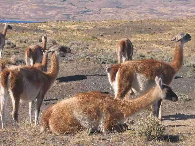 Guanakos im Nationalpark Torres del Paine: Vier Arten von Lamas gibt es in Südamerika: Die domestizierten Llamas und Alpacas sowie die wilden Vicuñas und Guanacos. Während die Vicuñas die Hochgebirgsflächen der Anden bevorzugen, trifft man die Guanacos, deren Population heute auf rund 650.000 Tiere geschätzt wird, in den unterschiedlichsten Gebieten zwischen Ecuador und dem kalten und rauen Süden von Chile und Argentinien an.